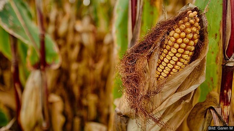 I dag odlas bara en GMO-gröda i EU, en majssort vid namn MON 810. Arkivbild.